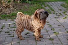 洗濯物のようにしわくちゃな珍犬中の珍犬「シャー・ペイ」の写真いろいろ - ライブドアニュース