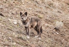 We saw a couple wolves today in Yellowstone Park. They don't really pay much attention to people, which is understandable. There is a group of people who watch the wolves daily - summer and winter. Wolf Photos, Wolf Pictures, Animal Pictures, Yellowstone Wolves, Yellowstone Park, Wolf With Blue Eyes, Wolf Life, African Wild Dog, Wolves