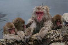 Snow Monkeys in Onsen Japan