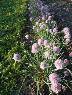 CEBOLLÍ – Allium schoenoprasum –  Cebollino – Ciboulette – Chives
