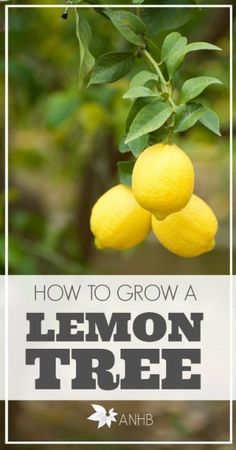 Learn how to grow a lemon tree indoor and outdoors! So cool. I totally want to try this.