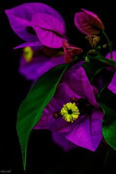 Bougainvilla close-up  by Francisco Garcia Diaz