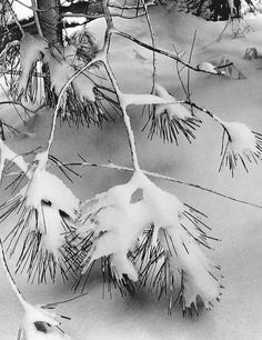 """""""Branches in Snow"""" by Ansel Adams"""