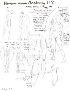 Human-Avian Anatomy No.2 by Maximwolf.deviantart.com on @deviantART