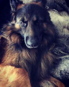 Longhaired German Shepherd.