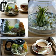 Create your own coffee pot terrarium with beautiful aerial plants - Decoration Solutions Mini Terrarium, Terrariums, Build A Terrarium, Glass Terrarium, Terrarium Ideas, Sempervivum, Belle Plante, My Fairy Garden, Bottle Garden