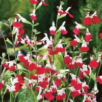 Plant of the week: Salvia 'Hot Lips' Red Perennials, Herbaceous Perennials, Perennial Plant, Hot Lips Plant, Honeysuckle Vine, Live Plants, Pot Plants, Jasmine Plant, Pergola Pictures