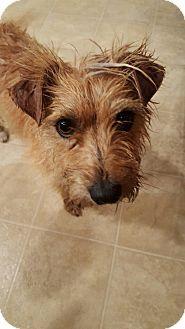 Vancouver, BC - Tibetan Terrier/Terrier (Unknown Type, Medium) Mix. Meet Micky, a dog for adoption. http://www.adoptapet.com/pet/15196650-vancouver-british-columbia-tibetan-terrier-mix