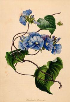 S. Holden. Five-flowered Bindweed. (Convolvulus Pentanthus) Original hand-coloured engraving for Sir Joseph Paxton's 'Magazine of Botany', London 1834-46 #flora #botanical #print #RHSChelseaflowershow
