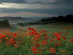 poppies-red-field-poppy-flowers-landscape-flower