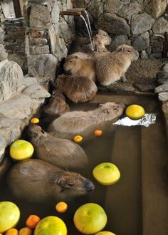 Um is this a small herd of capybaras enjoying a tiny pool with fruit? Courtney, I need some back up here.