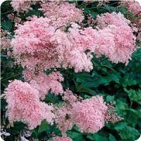 Filipendula Venusta - Impressive, imposing plants with wide, cloudlike panicles of deep carmine-pink flowers have large, pinnately divided foliage of incised, oblong-lanceolate leaflets.