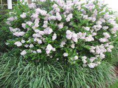 dwarf Korean lilac Flowering Shrubs, Dwarf, Landscape Design, Lilac, Outdoor Living, Landscapes, Korean, Gardening, Plants