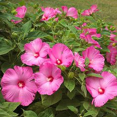 Perennial Hibiscus.  BHG easy Midwest flowers.