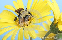 Bumble Bee On A Flower - Download From Over 24 Million High Quality Stock Photos, Images, Vectors. Sign up for FREE today. Image: 30922211
