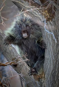 Porcupine in a tree. #porcupine