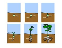 free! How a Plant Grows- Sequencing Cards
