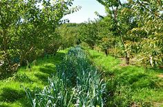 potager sous les fruitiers , agroforesterie , permaculture