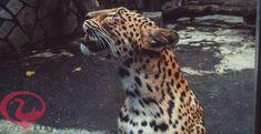 تفسير النمر في الحلم للامام الصادق 1 Giraffe Animals