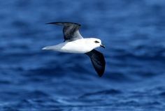 White Headed Petrel | White-headed Petrel (Pterodroma lessonii) Single bird attracted to ...