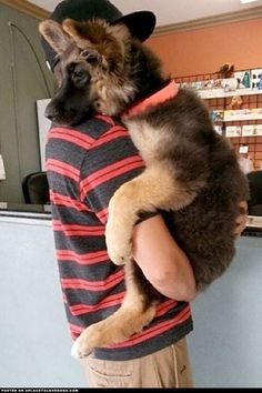 Sweet German Shepherd puppy feels safe in his daddy's arms.
