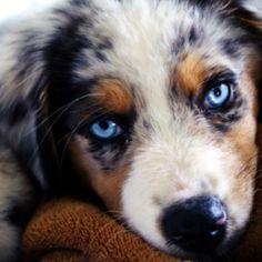 Blue heiler puppy <3
