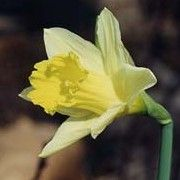 Narcissus pseudonarcissus (Wild daffodil) Click image to learn more, add to your lists and get care advice reminders each month.