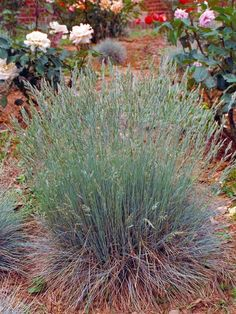 Low-Maintenance Plants for Easy Landscaping : Elijah Blue Fescue: This ornamental grass has blue-gray foliage & blue-green flowers. Garden Shrubs, Landscaping Plants, Front Yard Landscaping, Landscaping Ideas, Planting Plants, Dry Garden, Low Maintenance Backyard, Low Maintenance Plants, Blue Fescue