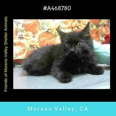 #A468780 Moreno Valley CA Male black Domestic Longhair. 4 months old I have been at the shelter since Nov 26 2016 and I may be available for adoption on Dec 03 2016 at 11:20AM.  http://ift.tt/2fmoa8s  Moreno Valley Animal Shelter at (951) 413-3790 Ask for information about animal ID number A468780  #adoptdontshop #savealifeadopt #sheltercats #catsofinstgram #CA #morenovalley #savealifeadoptapet #fosteracat #southerncalifornia