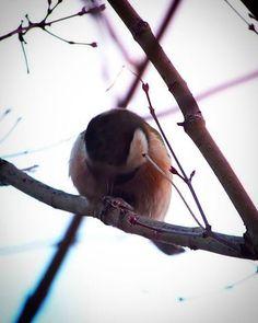 木の上で爪お手入れする クロシロフカフカダルマ。   #bird #鳥
