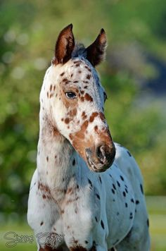 Appy indian horse Appaloosa horse equine native american pony leopard blanket…