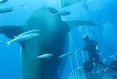 The Biggest Great White Shark Ever Filmed Is Back, Still Huge