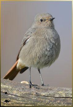 クロジョウビタキ  Black Redstart, Tithy's redstart, Blackstart, Black redtail (Phoenicurus ochruros)
