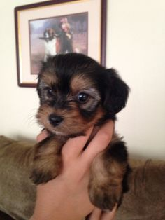 Shorkie Puppies, Teddy Bear Puppies, Teacup Puppies, Puppies And Kitties, Yorkie Puppy, Baby Puppies, Cute Puppies, Cute Dogs, Puppys
