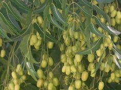 neem oil used for and uses, kills fleas and head lice also keeps bugs out of the garden