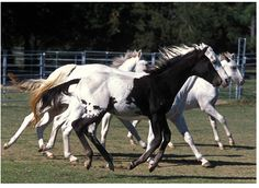 Would you just look at the colors.  Gorgeous Black to White with the pattern on the ribs and flank  and a black mane and tail.  Want her!!!!    http://www.sonestafarms.com/images/moonshinelangrish.gif