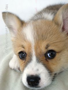 Beautiful corgi puppy 3 of 4