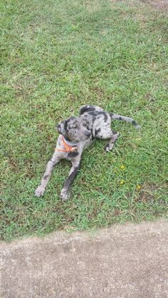 My new NALC Catahoula  Leopard Dog..... His name is Charter, and he's 9wks old and 17lbs. He's going to be big!