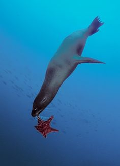 Galapagos sea lion playing with a starfish. Sea lions are among the most playful and acrobatic animals in the ocean. by David Hall
