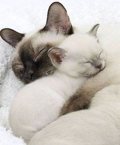 Mother with her kitten. #SiameseCat