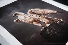 Tariq Dajani's Falconry, print by Jack Lowe