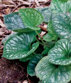 Plant profile: Siberian bugloss