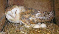 Barn Owl on eggs