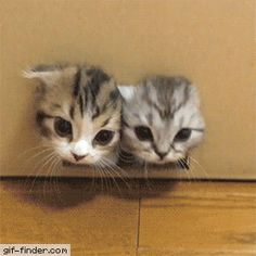 TO watch cat video stories , cat rescue ideas , rescue pets , funny cats and kittens videos stories Fluffy Kittens, Cute Cats And Kittens, Kittens Cutest, Cute Kitten Gif, Cute Funny Animals, Cute Baby Animals, Funny Cats, Fluffy Animals, Gato Gif