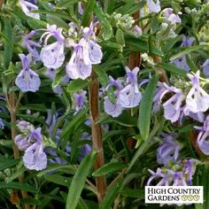 Blue Rosmarinus officinalis Alcalde Cold Hardy, Rosmarinus officinalis Alcalde…