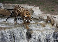 Tiger Dives from Waterfall