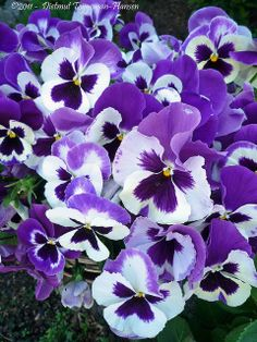 White and purple pansies Flowers Nature, Exotic Flowers, Amazing Flowers, Purple Flowers, Beautiful Flowers, Yellow Roses, Pink Roses, Daffodils, Pansies