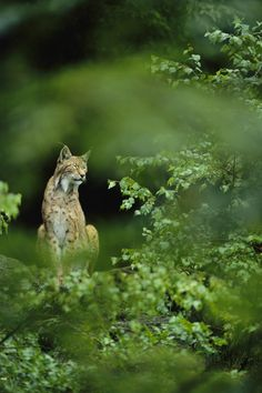Lynx in woodland. by Norbert Rosing