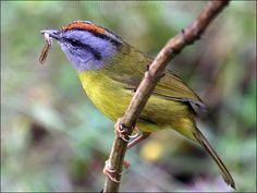 The russet-crowned warbler (Myiothlypis coronata) is a species of bird in the Parulidae family. It is found in Bolivia, Colombia, Ecuador, Peru, and Venezuela. Its natural habitats are subtropical or tropical moist montane forests and heavily degraded former forest.