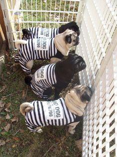 Puggie Convicts-doing time for fridge raiding!